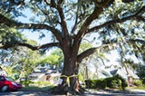 GEOFF L. JOHNSON - The giant live oak on E. 41st Street has seen its last days in spite of neighborhood protest.