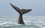 The North Atlantic Right Whale is endangered