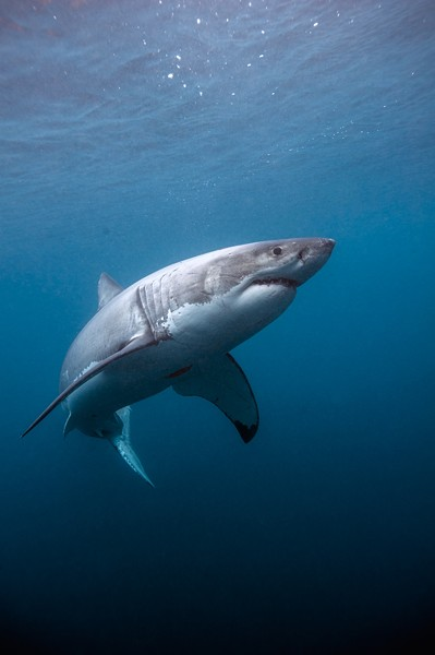 The star of Great White Shark