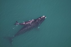 A Right Whale mother and calf