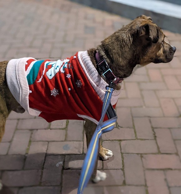 A foster dog is dressed up in holiday style for Savannah's Dec. 18 Pack Walk event held by Renegade Paws Rescue. - LAUREN WOLVERTON/CONNECT SAVANNAH