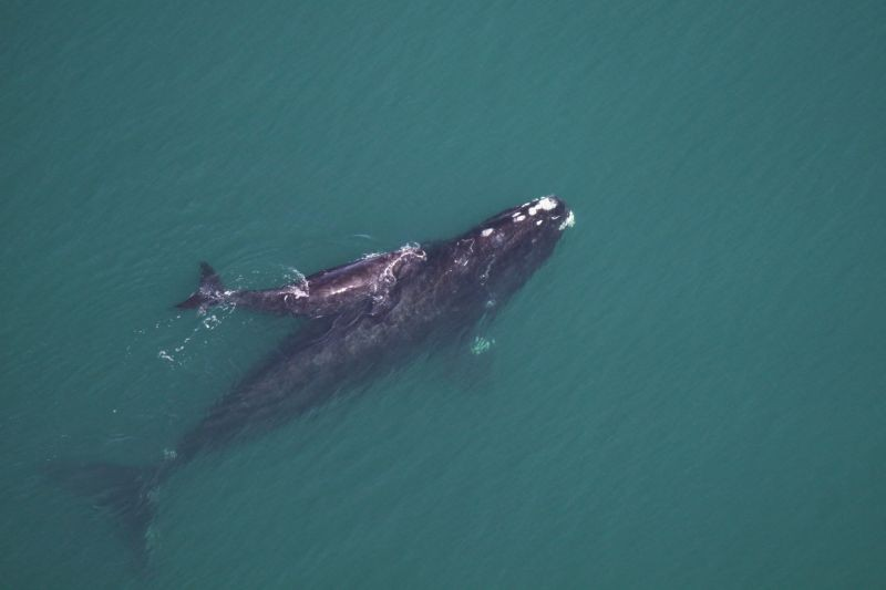 A North Atlantic right whale, who only comes to our area once a year to have their calves. - SEA TO SHORE ALLIANCE, TAKEN UNDER NOAA RESEARCH PERMIT #15488.