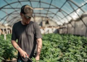 CBD, marijuana and Georgia