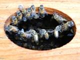 c63c5878_bee-chaining.jpg