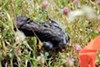 A decapitated blackbird near the Altamont wind turbines.