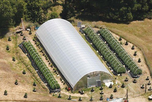 A large, greenhouse full of growing marijuana