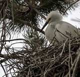 LEE AURICH - A Snowy Egret takes care of its chick in a downtown Oakland nest.