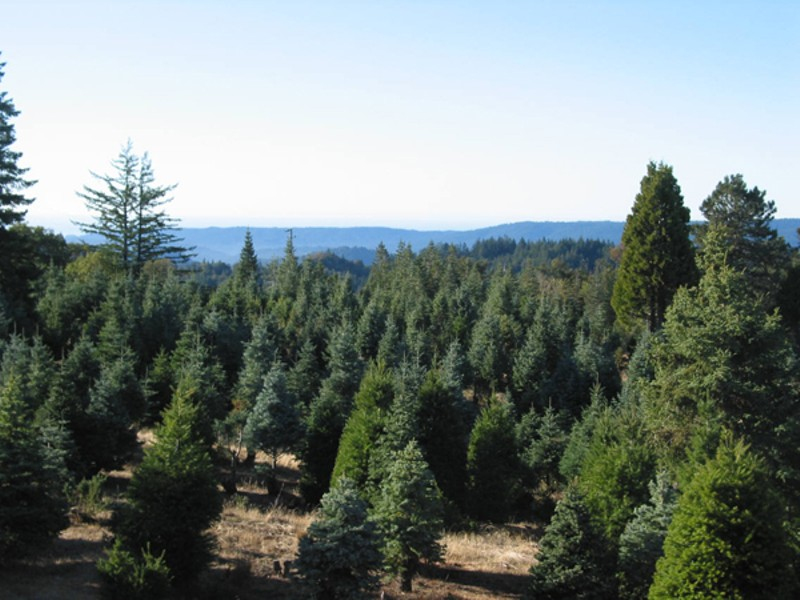 An Eco Christmas Tree Guide Holiday Guide Oakland