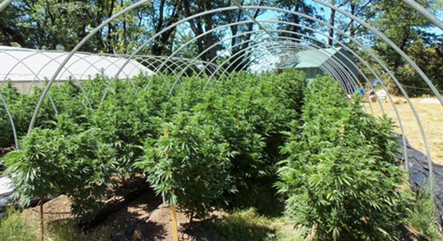 An outdoor medical marijuana garden in Northern California in 2013