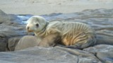 NOAA - Baby sea lions are starving in record numbers.
