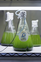 NORMA CORDOVA - Bioluminescent algae was one of the projects Kyle Taylor had been working on at BioCurious.