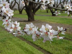 almond_blossoms_branch.jpg
