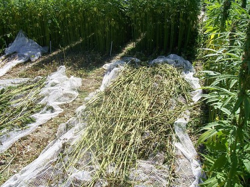 Cops can't tell the difference between hemp stalks ...