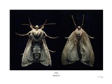 Diana Hobson's moths.