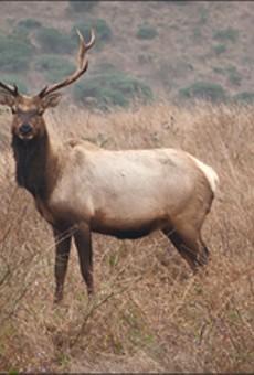 Dianne Feinstein Targets Tule Elk