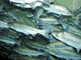 Does sport fishing threaten salmon populations?