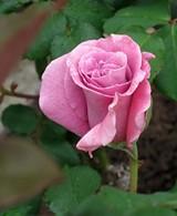 rick_s_rose_jpg-magnum.jpg