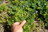 KRISTEN RASMUSSEN - Edible plants in the East Bay include pineapple weed (wild chamomile).
