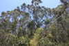 Eucalyptus have been part of the California landscape since the 1850s.