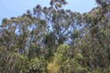 KATHLEEN RICHARDS - Eucalyptus have been part of the California landscape since the 1850s.