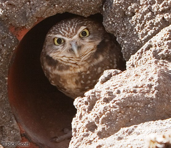 burrowing_owl.jpg