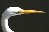 WOLFPIX - Great Egret photographed at Lake Merritt, Oakland.