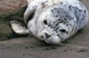Harbor seals are being impacted by the oyster farm.