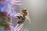 BBUM - Honeybee on flower.
