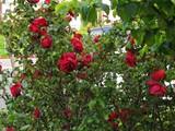 red_rose_savebush_6_3_2_jpg-magnum.jpg