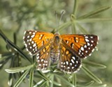 Lange's Metalmark butterfly.
