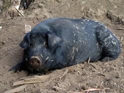 Mulefoot hog, in repose. - GRABISHFARM