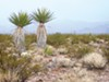 Mojave yucca and creosote scrub at BrightSource's site in the Ivanpah Valley.