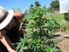 """Quinn,"" a gardener, tends to an organically grown cannabis plant in Humboldt County."