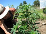 "DAVID DOWNS - ""Quinn,"" a gardener, tends to an organically grown cannabis plant in Humboldt County."
