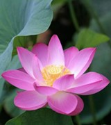 lotus_flower_jpg-magnum.jpg
