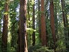 Redwoods in Richardson Grove State Park.