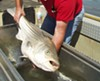 Scientists say the population of stripers may be as small as 5 percent of historic highs.