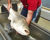 COURTESY OF DAVID OSTRACH - Scientists say the population of stripers may be as small as 5 percent of historic highs.