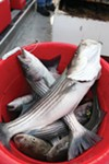 Some of the stripers from a recent <i>California Dawn </i>outing.