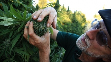 Iconic gardening author Jorge Cervantes inspects a cannabis flower bud. - JORGE CERVANTES