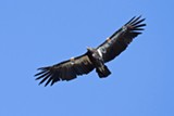 The ban on lead ammunition in hunting is expected to help protect California condors and other large raptors.