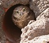 The burrowing owl.