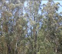 The Eucalyptus Is Part of California