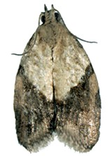 The Light Brown Apple Moth