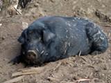 GRABISHFARM - The Mulefoot Hog in repose.