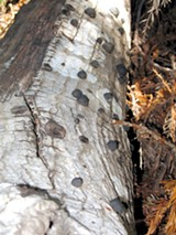SARCOZONA/FLICKR (CC) - The Sudden Oak Death pathogen P. ramorum has been found in fourteen counties statewide.