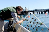 Thew Suskiewicz of the Monterey Abalone Company checks on the red seaweed he is growing.