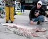 Today, the catch on the <i>Happy Hooker</i> is shark, a species once derided as trash fish.