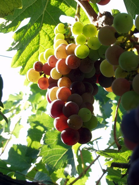 California_wine_grapes_2.jpg