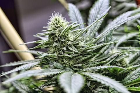 marijuana_medical_credit_coleenwhitfield.jpg
